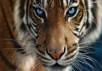 tygrysiatko