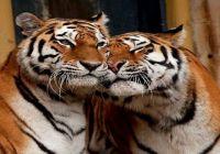 Tygrrysek