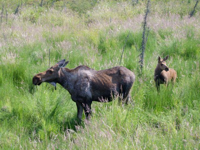 Zdjęcia: Alaska / Yukon–Koyukuk  Area, Klępa z cielakiem, ALASKA