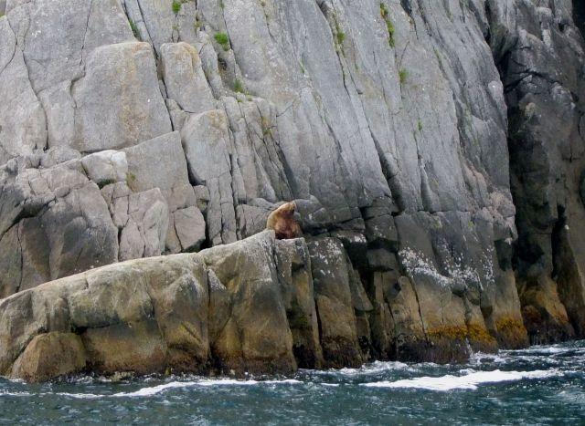 Zdjęcia: Alaska / Gulf of Alaska , lew morski, ALASKA
