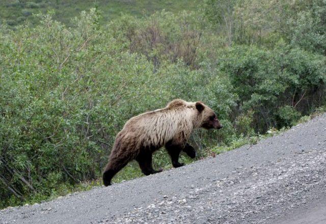 Zdjęcia: Alaska / Denali NP, grizli, ALASKA