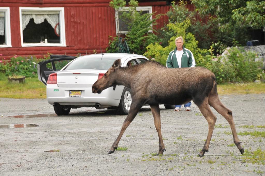 Zdjęcia: Alaska, Alaska, Chodzi sobie łoś, ALASKA