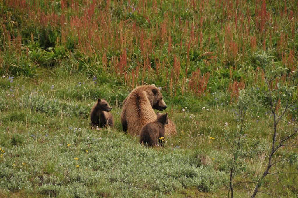 Zdjęcia: Alaska, Alaska, Matka grizzly z małymi, ALASKA