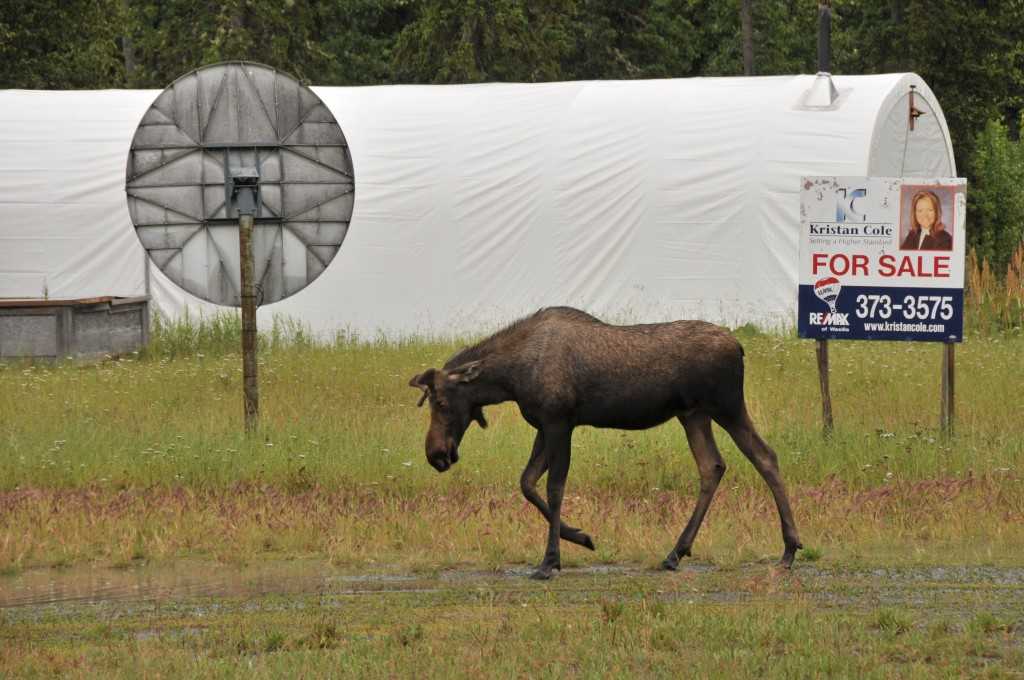 Zdjęcia: Alaska, Alaska, Odszedł smutny, bo dla niego było za drogo..:-), ALASKA