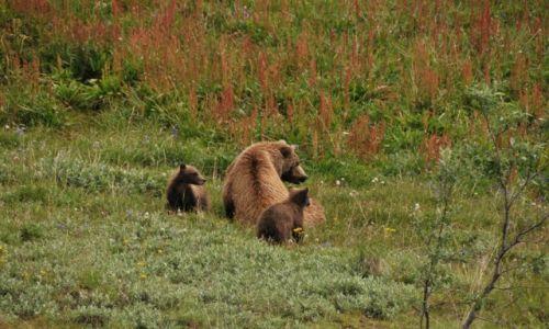 Zdjecie ALASKA / Alaska / Alaska / Matka grizzly z małymi