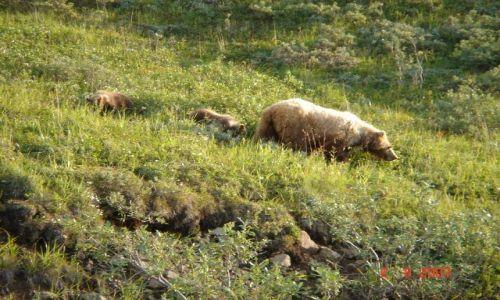 Zdjecie ALASKA / brak / Denali Nat'l Park & Pres. / Grizzly Bear