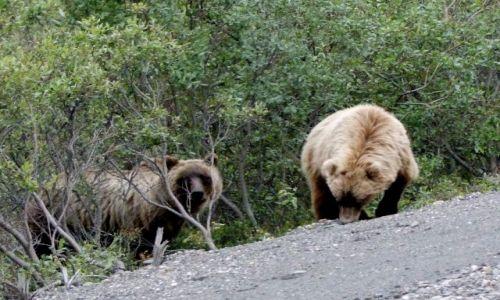 Zdjecie ALASKA / - / Alaska Range / Park Narodowy Denali / grizzly