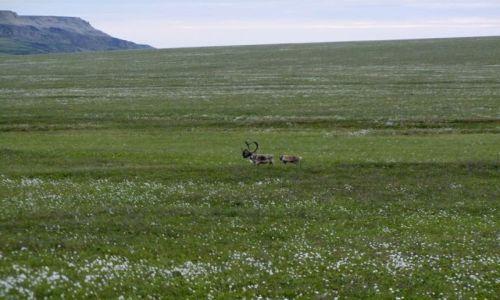 ALASKA / - / Alaska / North Slope  / karibu w tundzre