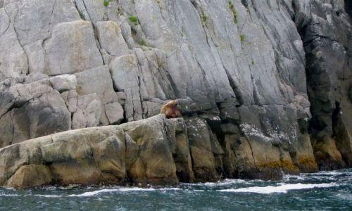 Zdjęcie ALASKA / - / Alaska / Gulf of Alaska  / lew morski