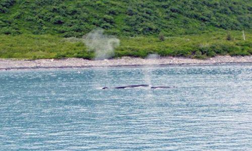 Zdjęcie ALASKA / - / Alaska / Gulf of Alaska  / mama humbak z dzieckiem :)