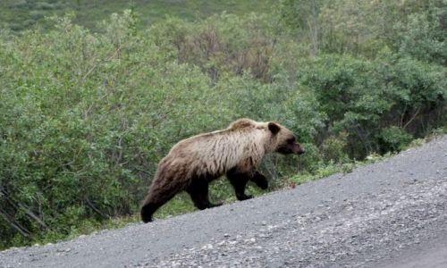 Zdjęcie ALASKA / - / Alaska / Denali NP / grizli