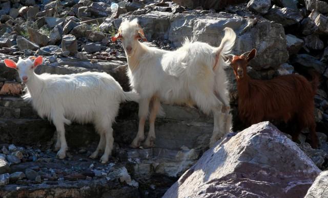 Zdjęcia: Koman, Kukes, Ciekawskie kozy, ALBANIA