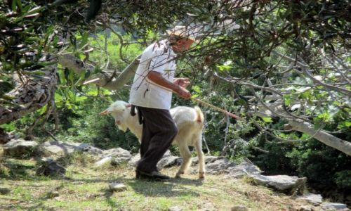 Zdjęcie ALBANIA / Dhermi / Gaj oliwny w okolicach Ilias / Gdzie ta koza?