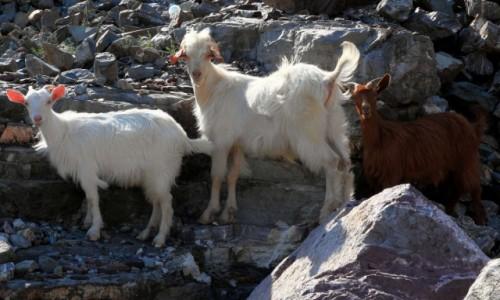 Zdjęcie ALBANIA / Kukes / Koman / Ciekawskie kozy
