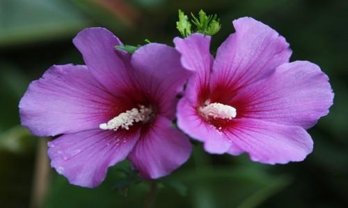 Zdjęcie ALBANIA / Szkodra / Mesi / Kwiat malwy