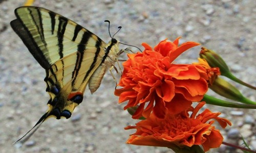 Zdjęcie ALBANIA / Berat / Gorica / W porze obiadowej