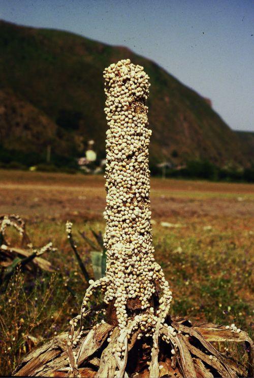 Zdjęcia: Tichi koło Bajaji, nad morzem, ślimaki na agawie, ALGIERIA