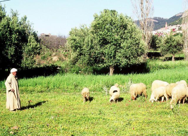 Zdj�cia: Tlemcen, algieria zachodnia, pasterz, ALGIERIA