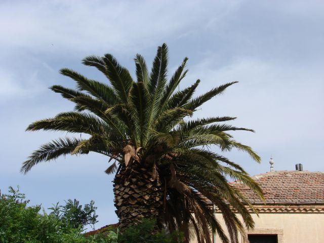 Zdjęcia: Tebessa, Tebessa, ładna palma, ALGIERIA