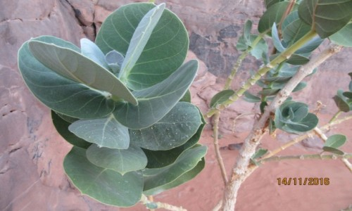 Zdjecie ALGIERIA / Algieria  Sahara / Algieria Sahara / Sahara = Pustynna roślinność