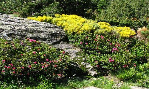 Zdjecie ANDORA / Pireneje / dolina d\\\'Incles / pirenejska flora - żarnowce i różaneczniki