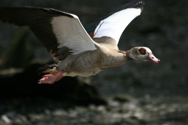 Zdjęcia: Londyn - Tamiza, angielska kaczka :), ANGLIA