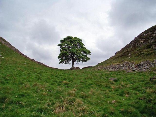 Zdj�cia: droga  B6318, Northumberland  National Park, drzewo -- samotny straznik, ANGLIA
