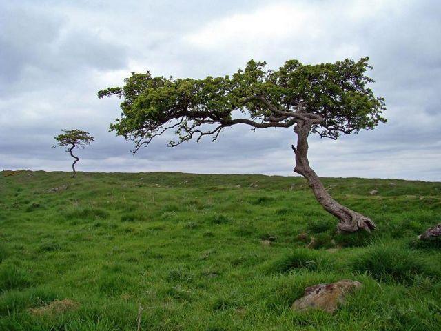 Zdj�cia: droga  B6318, Northumberland  National Park, smagane wiatrem drzewka, ANGLIA