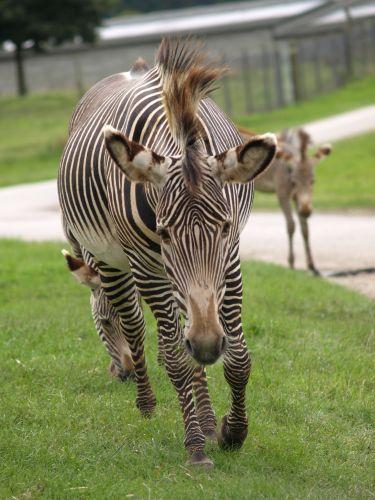 Zdjęcia: Oxfordshire, Oxfordshire, Zwierzątka- zebra, ANGLIA
