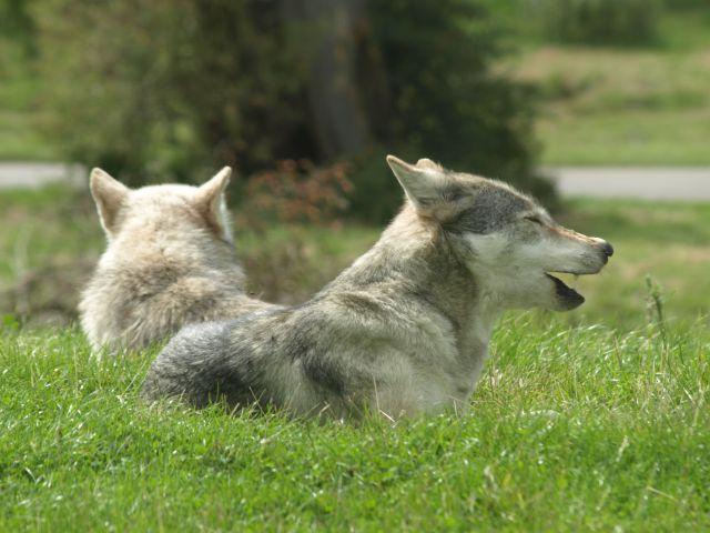 Zdjęcia: Oxfordshire, Oxfordshire, Zwierzątka- wilki, ANGLIA
