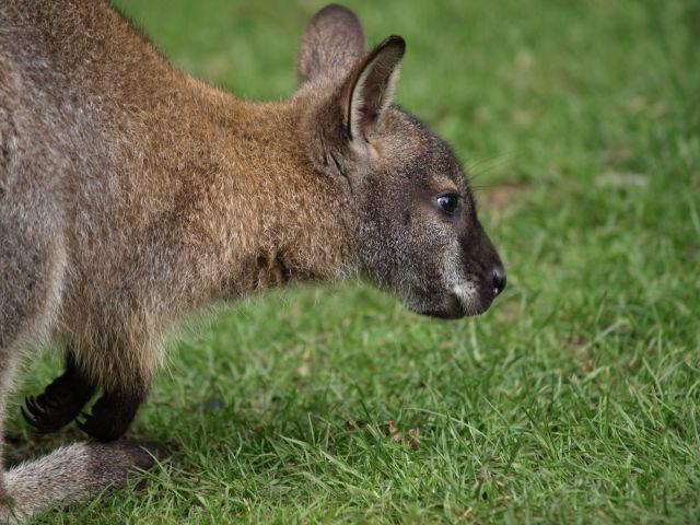Zdj�cia: Oxfordshire, Oxfordshire, Zwierz�tka- kangurek, ANGLIA