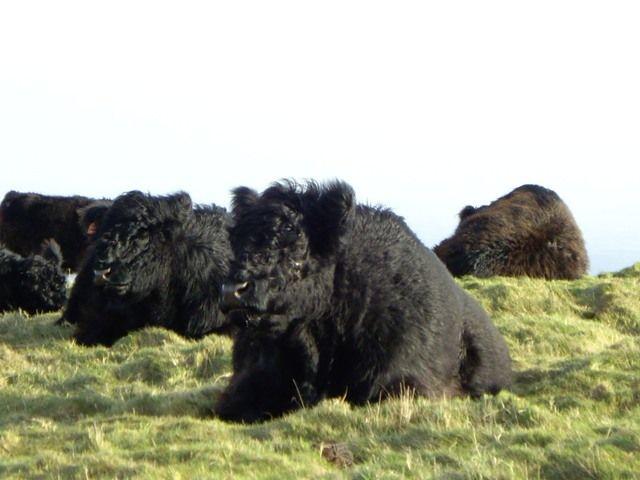 Zdjęcia: Malvern, długowłose krowy:), ANGLIA