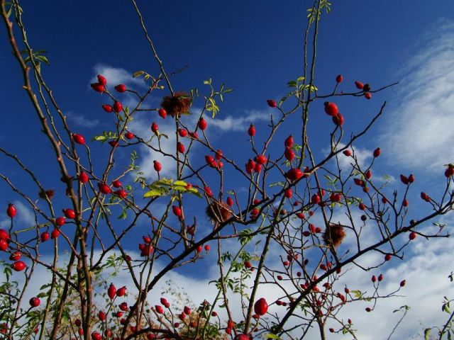 Zdjęcia: okolice Normanton, West Yorkshire, owoce jesieni, ANGLIA