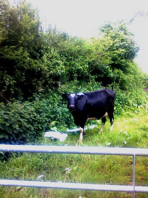 Zdjęcia: Mawnan Smith, Cornwall, angielska czy polska... mleko to samo :), ANGLIA