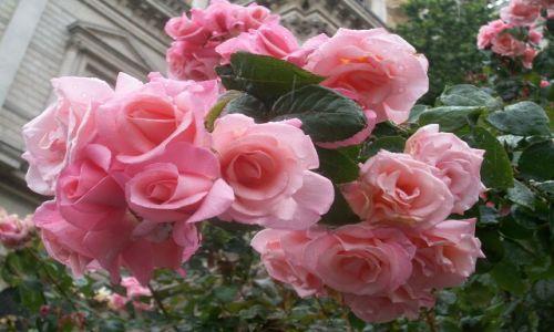 Zdjecie ANGLIA / - / Londyn, park Windsor Palace / angielskie róże