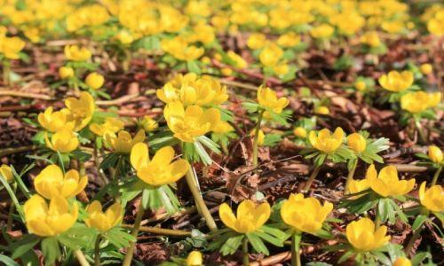 Zdjęcie ANGLIA / East Midlands / Kettering / Styczniowe zawilce żółte