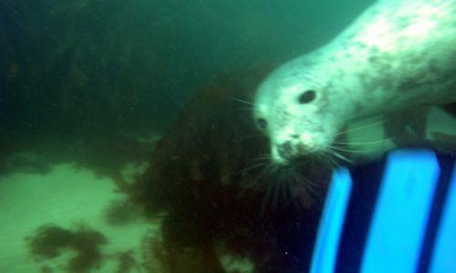 Zdjęcie ANGLIA / Devon / Luny Island / Nurkowanie z fokami