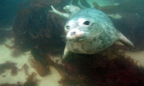 Zdjęcie ANGLIA / Devon / Luny Island / Nurkowanie z fokami 1