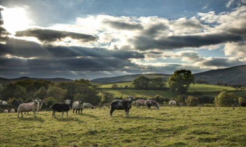 Zdjecie ANGLIA / Kumbria / Lake District / Pastwisko