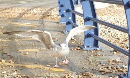 Zdjęcie ANGLIA / East Sussex / Rock-a-nore / Atakująca mewa
