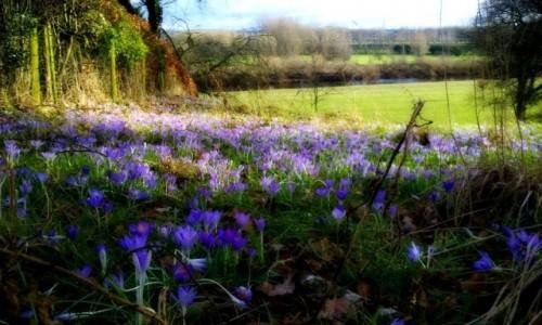 Zdjęcie ANGLIA / Cumbria / Carlisle / krokusowy zakątek