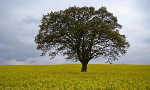 Zdjęcie ANGLIA / Country Durham / Haydon Bridge / samotne drzewo