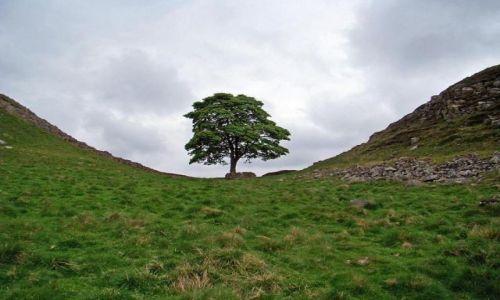 Zdjecie ANGLIA / Northumberland  National Park / droga  B6318 / drzewo -- samotny straznik