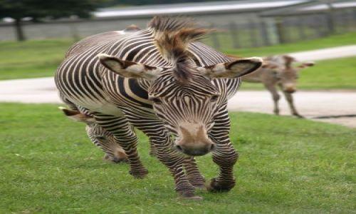 Zdjecie ANGLIA / Oxfordshire / Oxfordshire / Zwierzątka- zebra