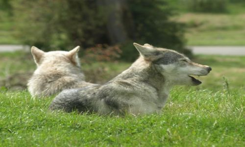 Zdjęcie ANGLIA / Oxfordshire / Oxfordshire / Zwierzątka- wilki