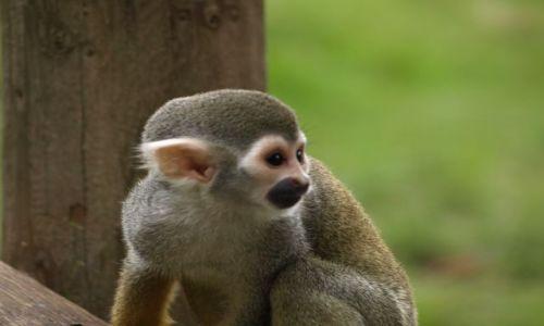 Zdjęcie ANGLIA / Oxfordshire / Oxfordshire / Zwierzątka- małpka