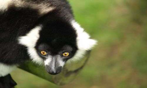 Zdjecie ANGLIA / Oxfordshire / Oxfordshire / Zwierzątka- lemur i jego oczy!!!