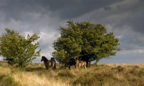 Zdjęcie ANGLIA / Devon / Park Narodowy Exmoor / Dzikie koniki w Exmoor