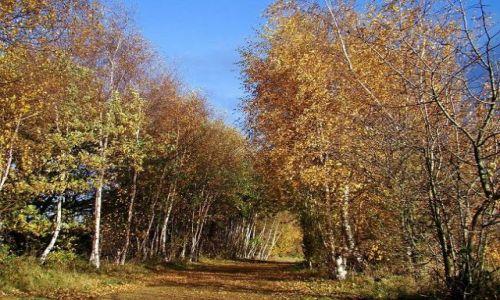 Zdjecie ANGLIA / West Yorkshire / okolice Normanton / spacer  brzozowa alejka