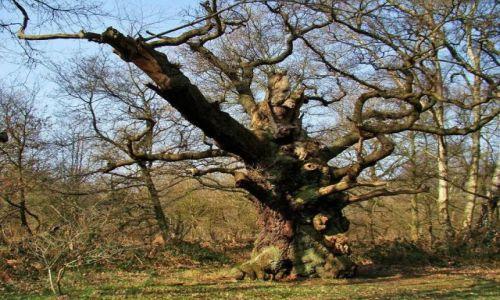 Zdjęcie ANGLIA / Nothingamshire / Sheroowd / czas zaklety w drzewach